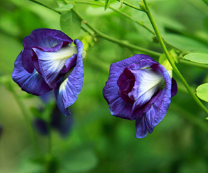 article-benefits-of-butterfly-pea-for-hair